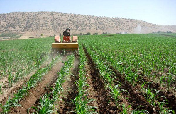 اجرای طرح یاوران تولید محصولات کشاورزی اساسی و مهم در استان کرمان در سطح 5000 هکتار در سال زراعی 99