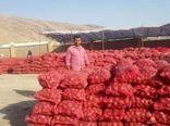 تولید پیاز در شیراز از 30 هزار تن گذشت