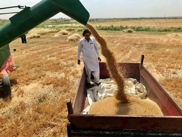 خرید گندم مازاد بر مصرف کشاورزان سیستان وبلوچستان ازمرز 10 هزار تن گذشت