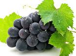 آغاز برداشت خوشههای طلایی انگور از باغات قزوین