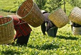 تولید 135 هزار تن برگ سبز چای در سال جاری