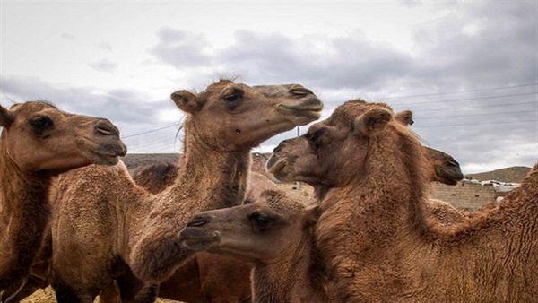 یزد، سومین تولیدکننده گوشت شتر در کشور