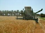 کار برداشت خوشههای طلایی گندم در سیستان و بلوچستان آغاز شد