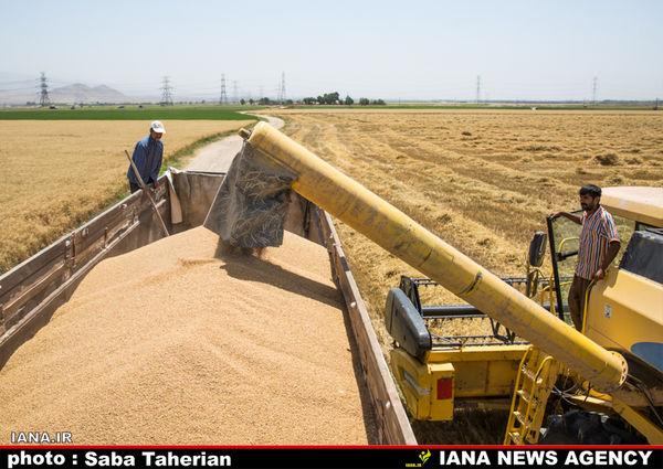 مطالبات گندمکاران تا یک ماه آینده تسویه میشود