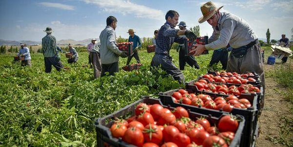 ۳۵هزار تن گوجهفرنگی مزارع استان بوشهر وارد بازار شد