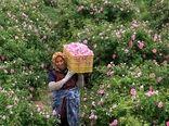 برداشت گل محمدی در شهرستان رابر