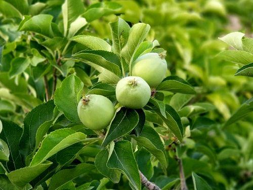 آغاز برداشت سیب ترش قیروکارزین
