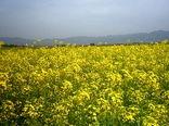 370 هکتار از مزارع کشت کلزا در گیلان به گل نشست