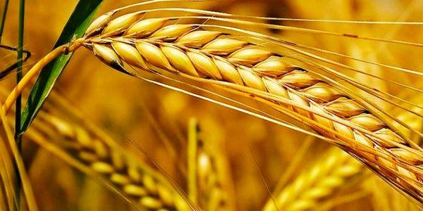 مزایای اجرای سیاست قیمت تضمینی در بورس کالا / کشاورزان و گندمکاران راضی اند