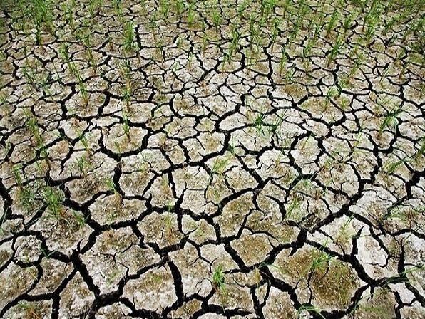 بحران خشکی در شالیزارهای نکا