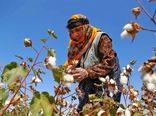 تولید وش پنبه در خراسان شمالی ۲۰ درصد افزایش یافت