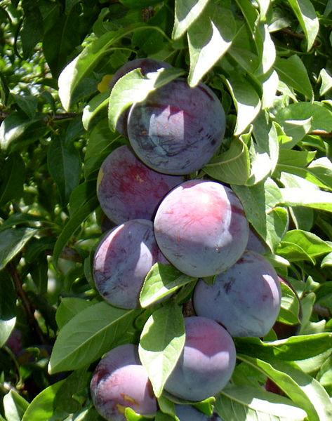 93 تن آلو در باغات شهرستان البرز تولید شد