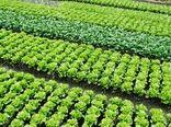 ۵۰۶ هکتار از اراضی کشاورزی شهرستان البرز به کشت سبزی و صیفی اختصاص یافت