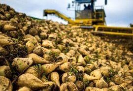 برداشت چغندرقند از مزارع شهرستان اردل ۵۳ درصد افزایش یافت