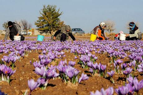 تسویه حساب ۲۳ میلیارد تومانی تعاون روستایی با زعفرانکاران