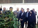 اشتغالزایی برای 110 نفر در گلخانه گل رز آبیک