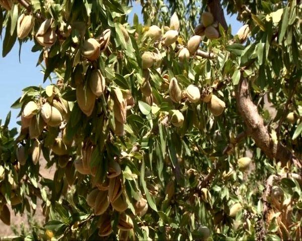 آغاز برداشت بادام از باغهای شهرستان خوانسار