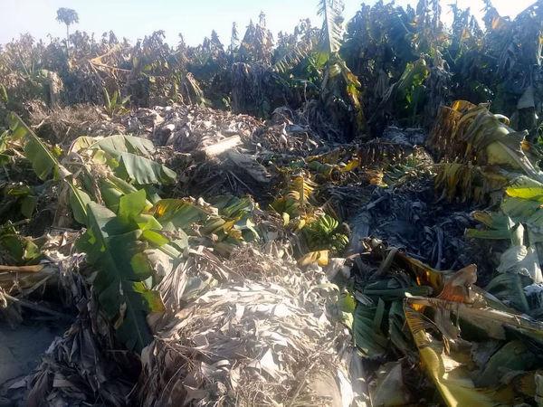 سیل 104 میلیارد تومان خسارت به باغات موز سیستان و بلوچستان وارد کرد