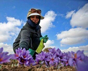 کاشت زعفران در لرستان کمک به معیشت کشاورزان