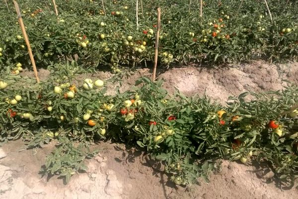 کشت گوجه فرنگی در منطقه یموق برای اولین بار