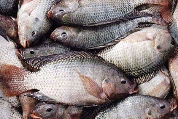 ماهیان بومی جایگزین تیلاپیا میشوند