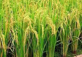 برنج خوزستان زیر چتر حمایت بیمه