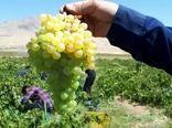 گهرو، رتبه اول تولید انگور در چهارمحال و بختیاری