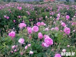 برداشت گل محمدی در شهرستان جاجرم
