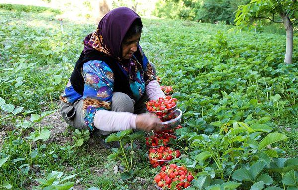 صادرات 505 هزار تن محصولات کشاورزی از کردستان