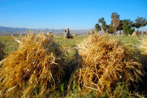 گونههای جدید گندم تولید را بالا بردند، کیفیت را پایین