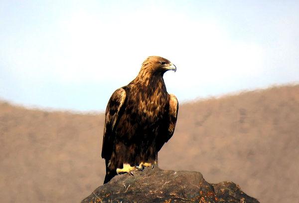 بازگشت عقاب طلایی به طبیعت