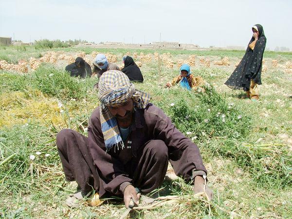 پنچ کشاورز سیستان وبلوچستان؛ درجمع تولیدکنندکان نمونه کشوری