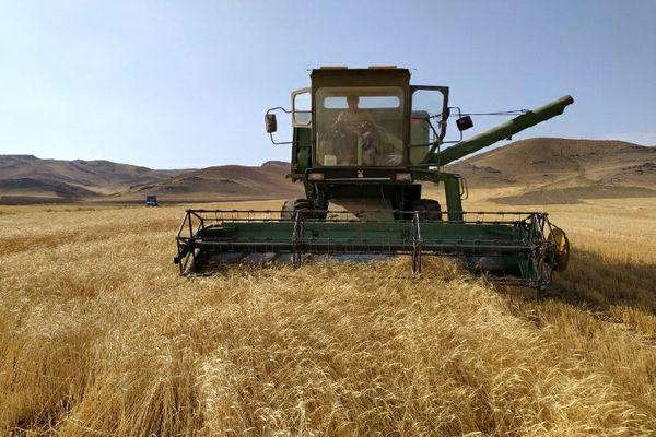 برداشت بیش از ۵۵ هزار تن محصول گندم از مزارع شهرستان میاندوآب