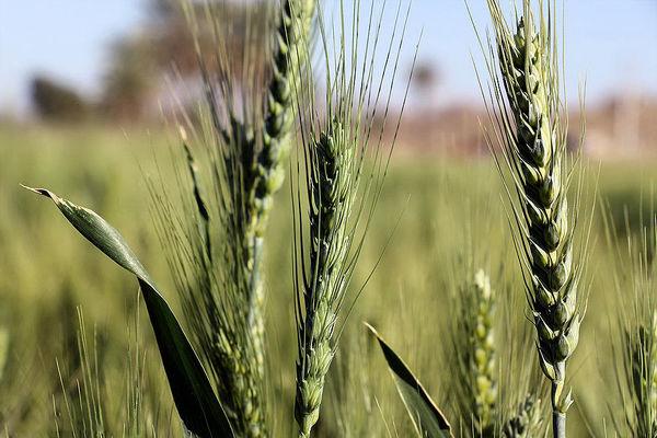شناسایی 50 نوع بیماری گندم در کشور