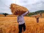 آغاز برداشت خوشههای طلایی گندم در خوزستان