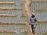 مجوز وزیر برای کشت برنج در ۲۰ هزار هکتار از اراضی ایلام