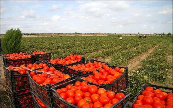 6 هزار  هکتار از اراضی کشاورزی استان قزوین به زیر کشت گوجه فرنگی رفت