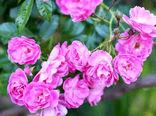 قیمت گل محمدی در کاشان افزایش یافت