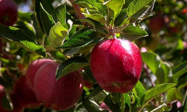 آبیاری و بارندگی سبب مرغوبتر شدن سیب سمیرم شد