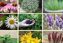 کشت بیش از 100 هکتار انواع گیاهان دارویی
