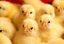 جوجه ریزی یک میلیون و ۴۰۰هزار قطعه ای در مرغداری های چهارمحال و بختیاری