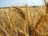خرید تضمینی ۱۲۰ هزارتن گندم از بهرهبرداران اصفهانی