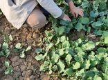 بازدید کارشناسان حفظ نباتات از مزارع کلزای ری