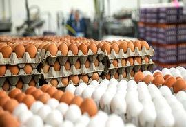آغاز توزیع تخم مرغ تنظیم بازاری از هفته جاری