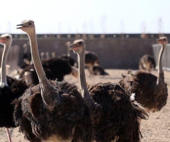 سالانه یک هزار تُن گوشت شترمرغ در اصفهان تولید میشود