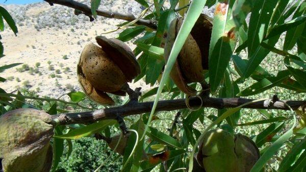 برداشت بادام از باغات سروآباد آغاز شد