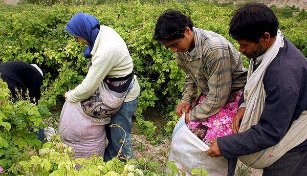 افزایش دو برابری کشت گل محمدی کاشان طی سه سال گذشته