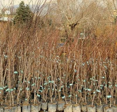 توزیع 480 هزار اصله نهال درختان مثمر در لرستان