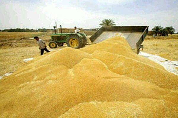 خرید بالغ بر ۱۶ هزار تن گندم مازاد بر نیاز کشاورزان تا نیمه اول خردادماه