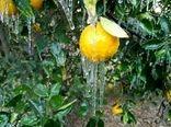 خسارت 6400 میلیارد ریالی سرما به کشاورزی فارس